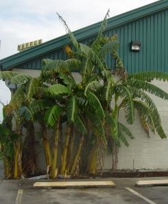 banana tree growing at a truck stop