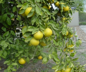 the oranges are ripe and sweet, right in our own park