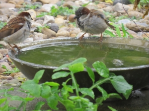 Some of the hoard of sparrows at the bird bath
