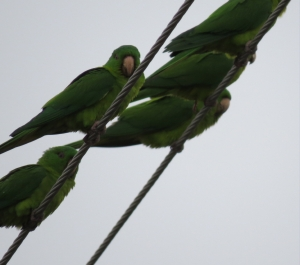 just a few of the green parakeets