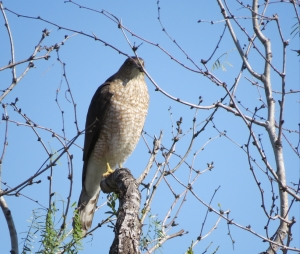 a lot of discussion on this one. General consensus, probably a coopers hawk  juvenile