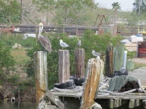 pelicans roosting