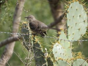 the mocking bird sings