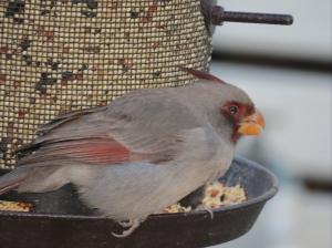 pyrrhuloxia- the gray cardinal
