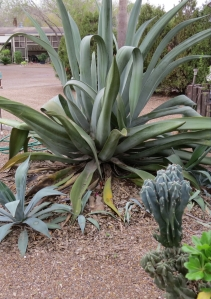 Agave americana or Century plant