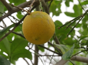 Have not had to buy oranges or grapefruit all winter. They grow all over our park. Lemons and limes are not so plentiful