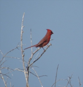 Cardinal, common in the north as well as the south.
