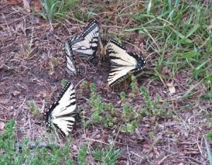 """Butterflies """"muddling"""""""