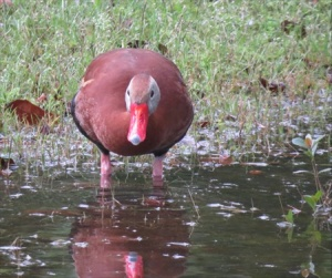Black bellied whistling duck.
