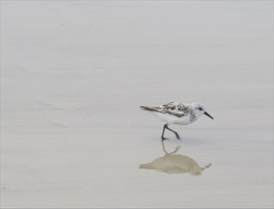Sanderlings. These small shorebirds never stop moving, constantly searching the shore line for tasty morsels.