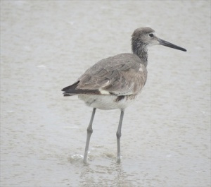 Willets. Larger shore birds that also fish along the surf line.