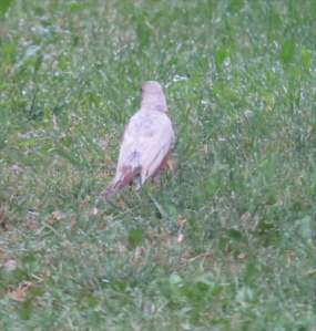 Whitey the albino robin