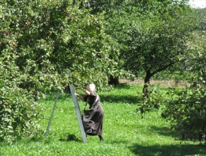 A Mennonite farm wife picking apples
