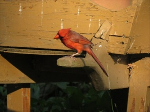 Red the curious Cardinal