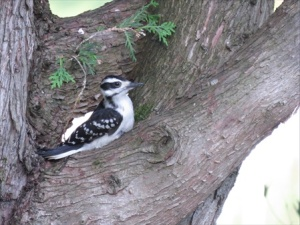 Harry the Hairy Woodpecker