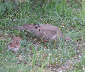 Monty the Mourning Dove sharing with Chip the Chipping sparrow