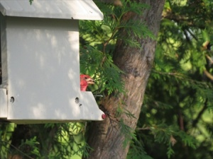 Percy the Purple finch