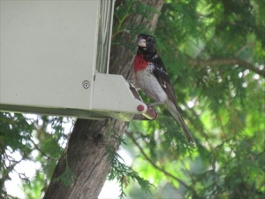 Rodney the Rose breasted  grosbeak