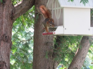 And one unwanted guest, Rodney the Red squirrel