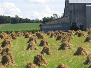 Many more stooks.