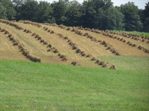 A field of stooks. Back breaking  work for a farm family.