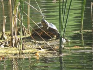 Tucker turtle sunning