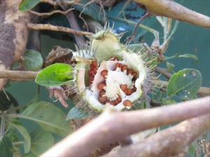 Moon flower seed pod full of seeds.