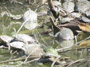 Some of the neighbors. A herd of turtles.