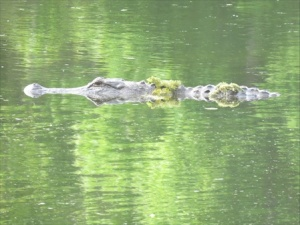Alligator in camo.