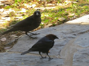 Black birds share our lunch at the first rest stop.
