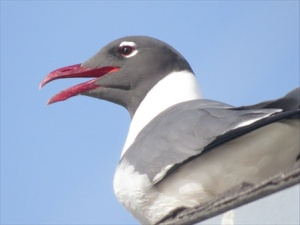 Laughing gull laughing, hoping for a handout.