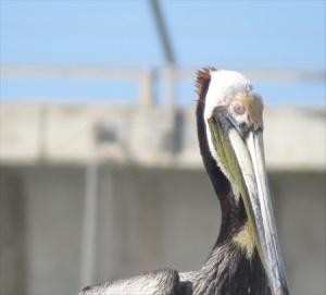 pelican Pete shows us his best profile.