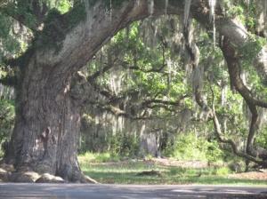 Spanish moss at Fontainbleu State Park Louisiana