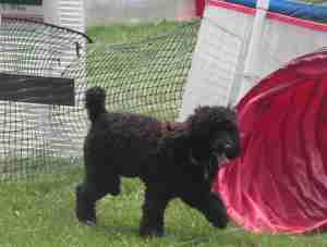 Poodle goes through the tunnel.